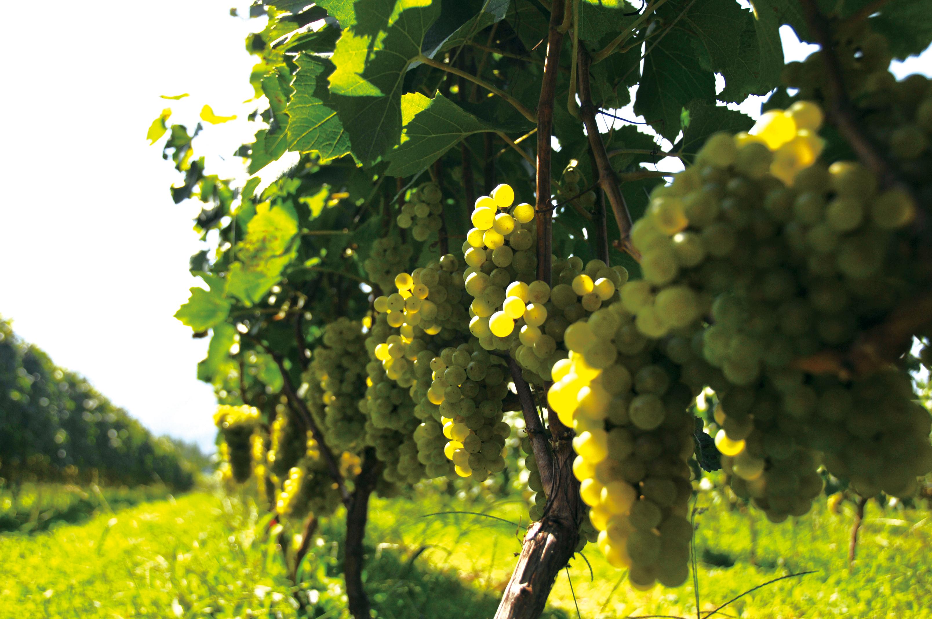 Takayama Wine長野県高山村はワインの産地に