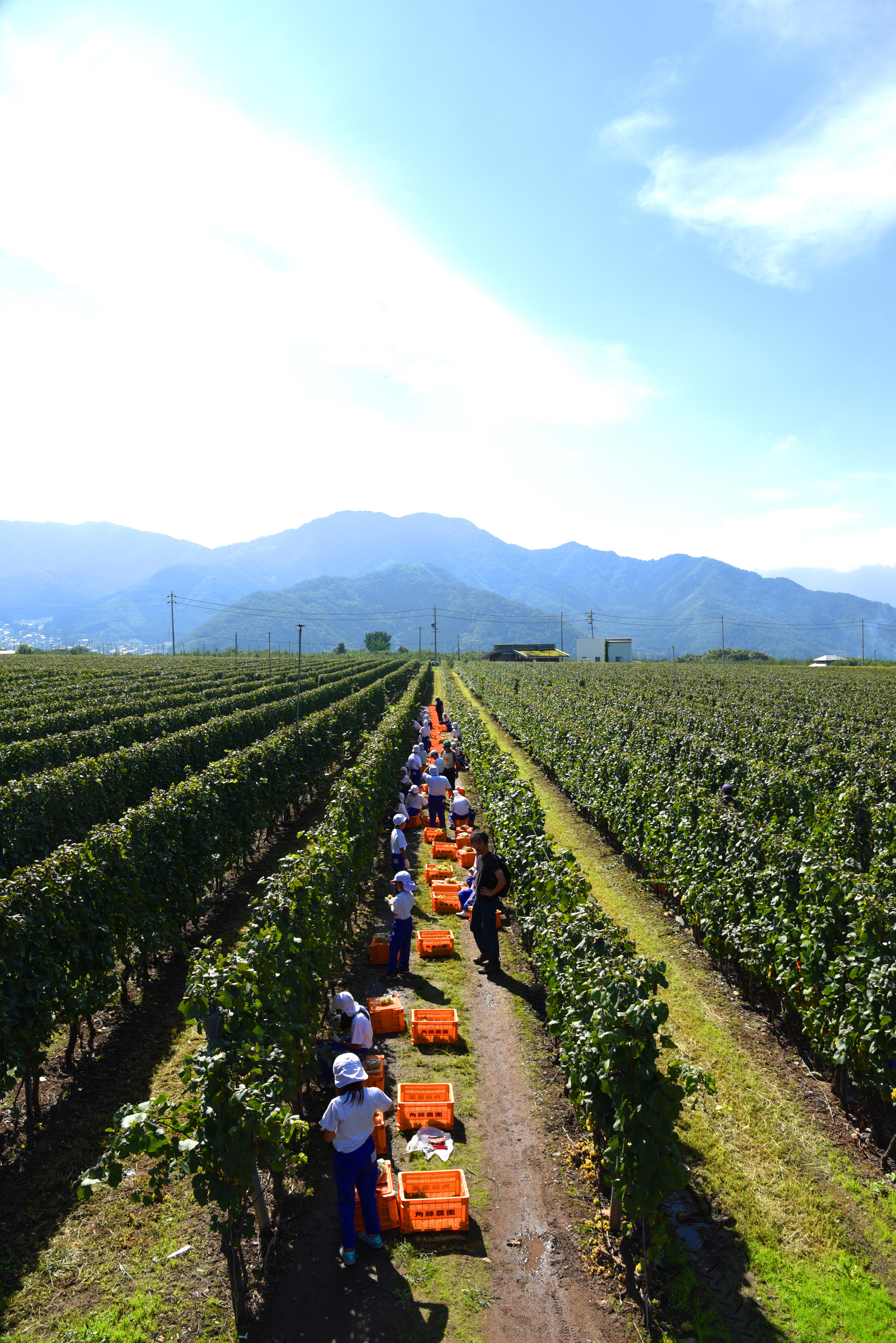 高山村のワイン畑と子供達